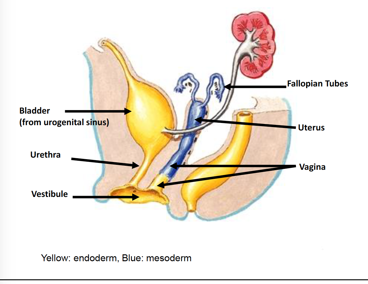 Female Reproductive System Development 4/17 (Repro) Flashcards ...