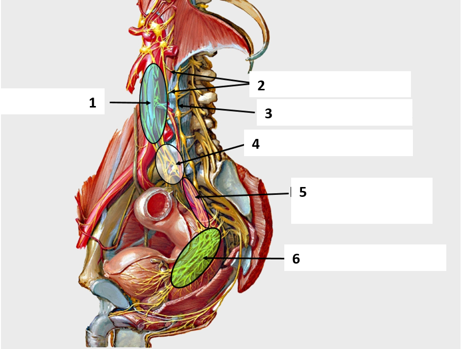Ga1 Overview Of The Pelvis And Perineum Gross Anatomy Flashcards