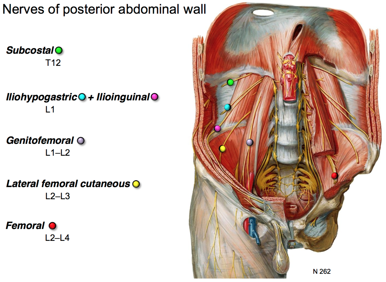 20 Anatomy G35 Posterior Abdominal Viscera Terms From Gs G35