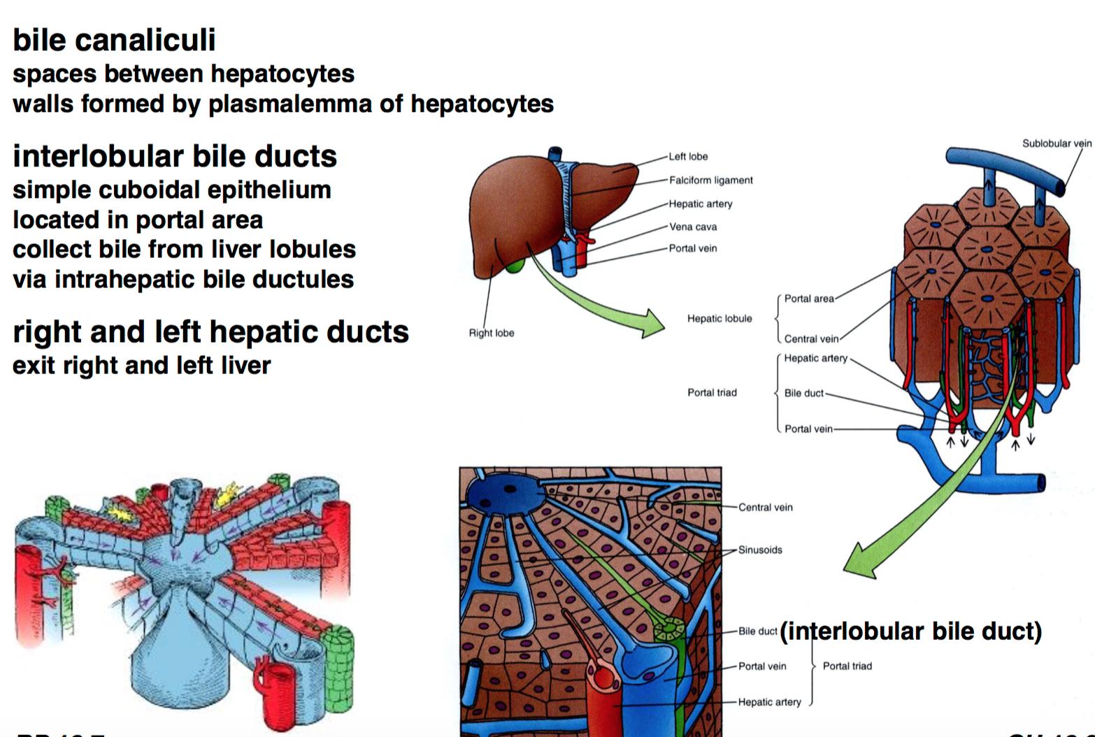 Gs He 34 35 Liver Gallbladder Pancreas Histology Unit 4 Flashcards