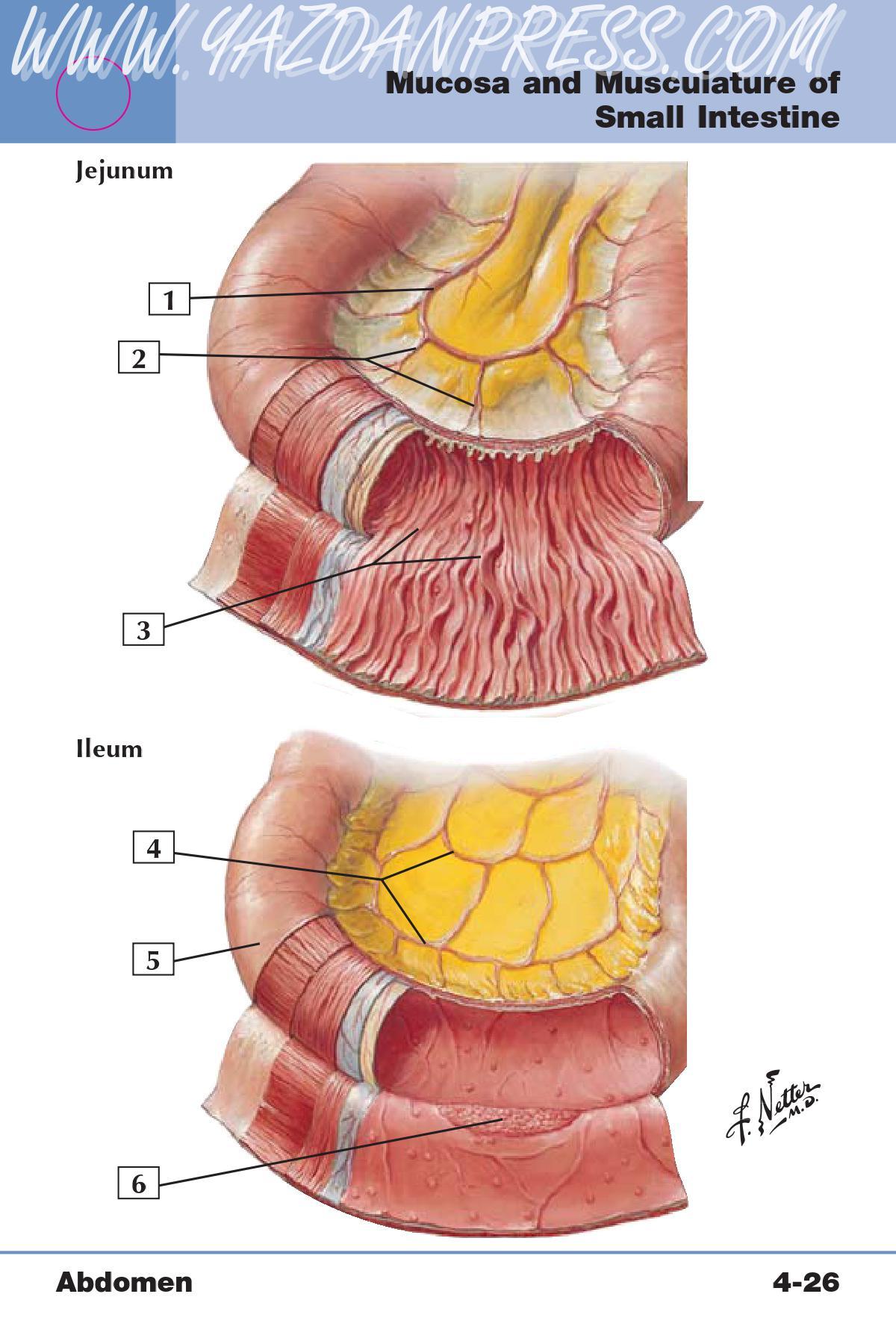 Gi anatomy all labs flashcards memorang 1 anastomotic loop arcade of jejunal arteries ccuart Gallery