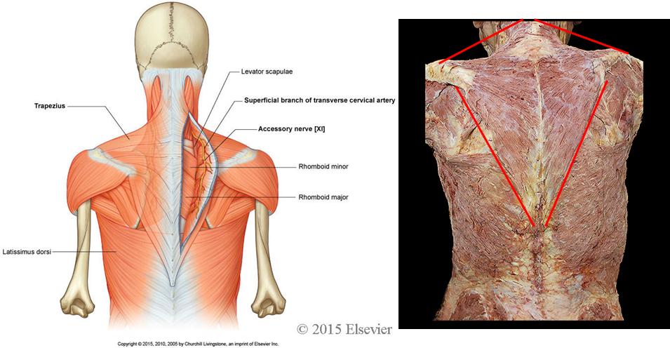 201 Vertebral Column Back Muscles Anatomy Flashcards Memorang