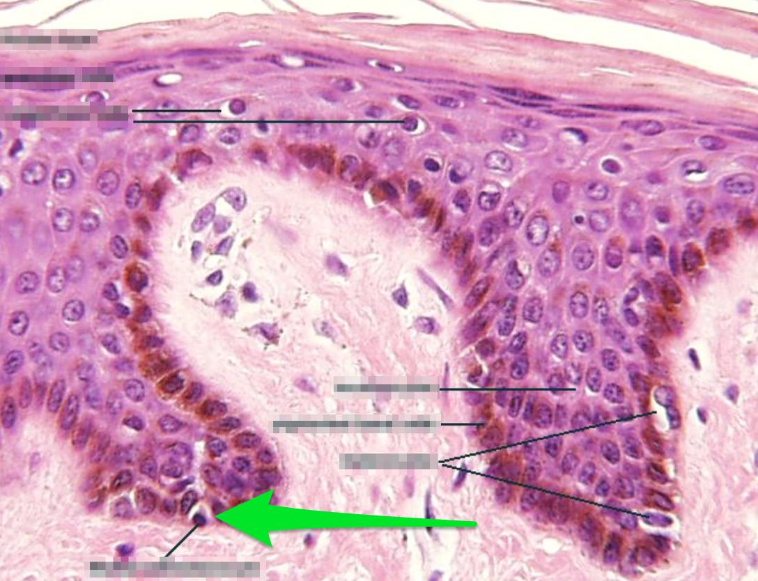Integumentary Histology Sbl Olinger Flashcards Memorang