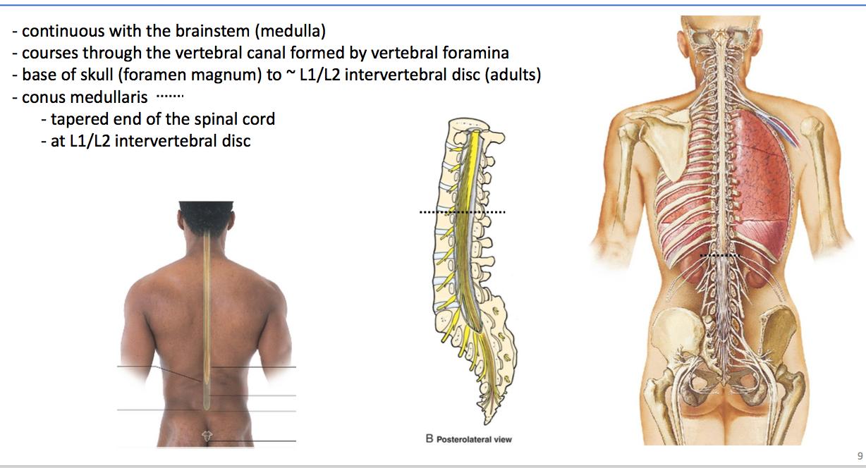Beste Intervertebral Foramen Anatomy Galerie - Menschliche Anatomie ...