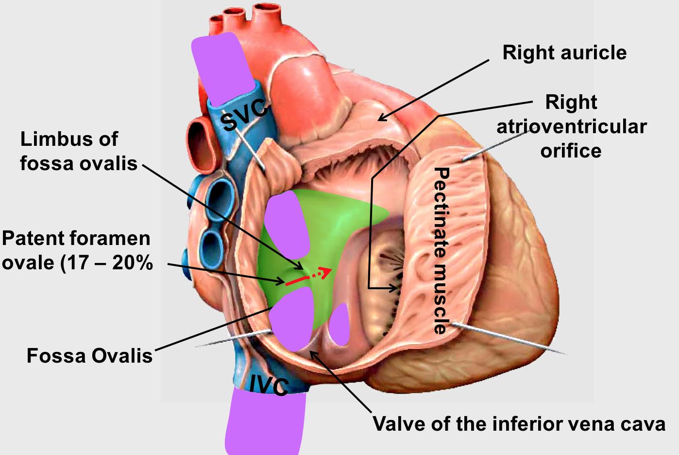 Gross Anatomy Cardio Flashcards Memorang