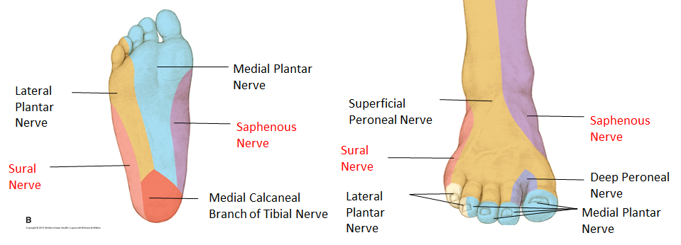 The foot nerve supply notes (Aug 14) Flashcards | Memorang