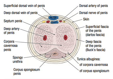 Dartos fascia of penis