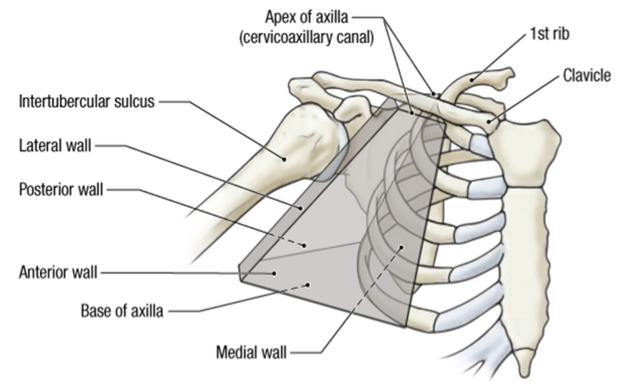 Anatomy Ul Brachial Plexus Axilla Arm Axilla Brachial Plexus
