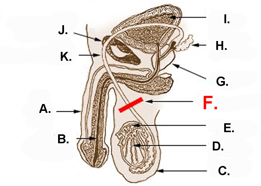 Male Reproductive Structure And Function Of Systems Flashcards