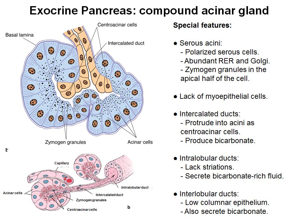 Lecture 1 Exocrine Glands Microanatomy Unit 7 Flashcards Memorang