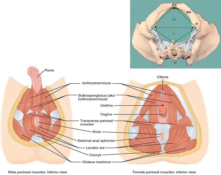 Lab 2 Female Reproduction (Grossanatomy Unit 8) Flashcards | Memorang