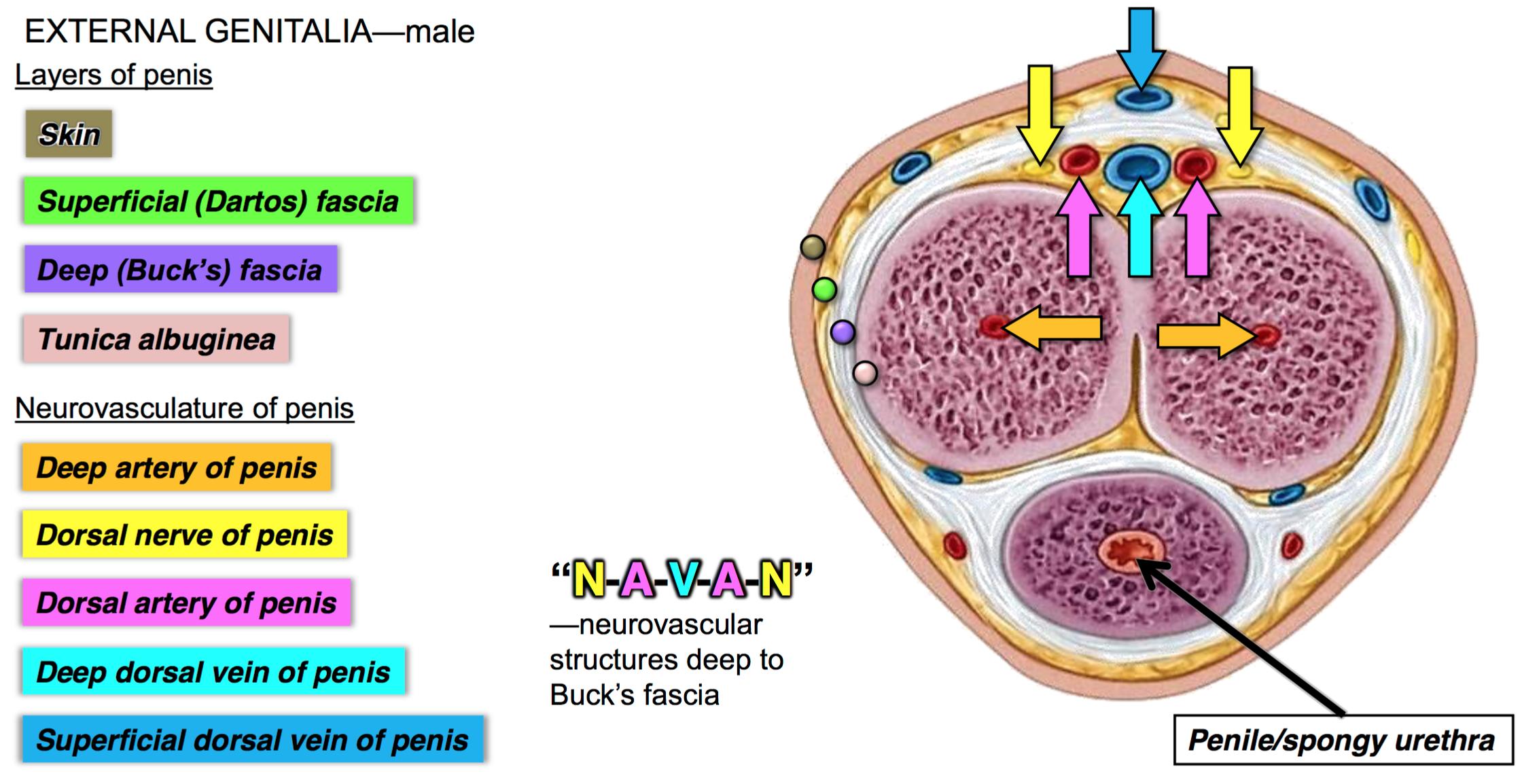 dorsal nerve of penile