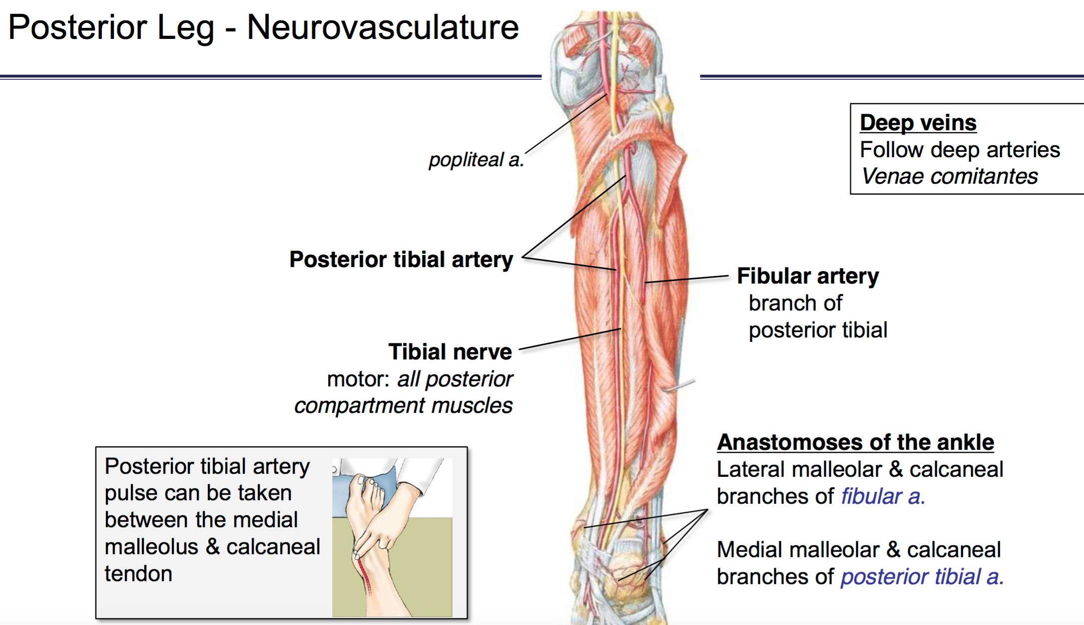 Fg Anatomy G46 Popliteal Fossa Posterior Leg Anatomy Unit 6