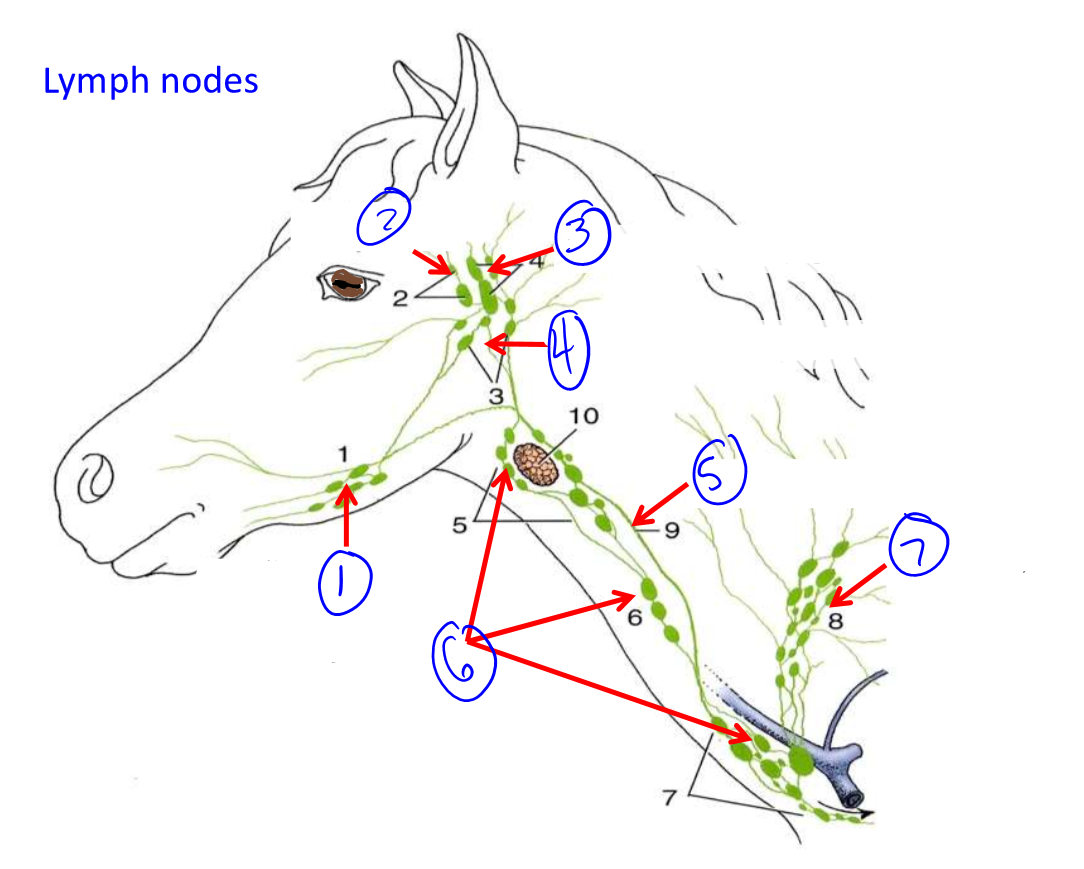Anatomy exam 1 lecture 9 lab vessels and lympha nodes label these lymph node groups in the horse ccuart Choice Image