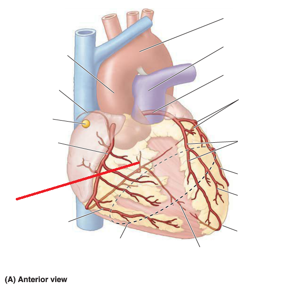 Anatomy 3 - Internal and Clinical Anatomy of the Heart (CPR I ...