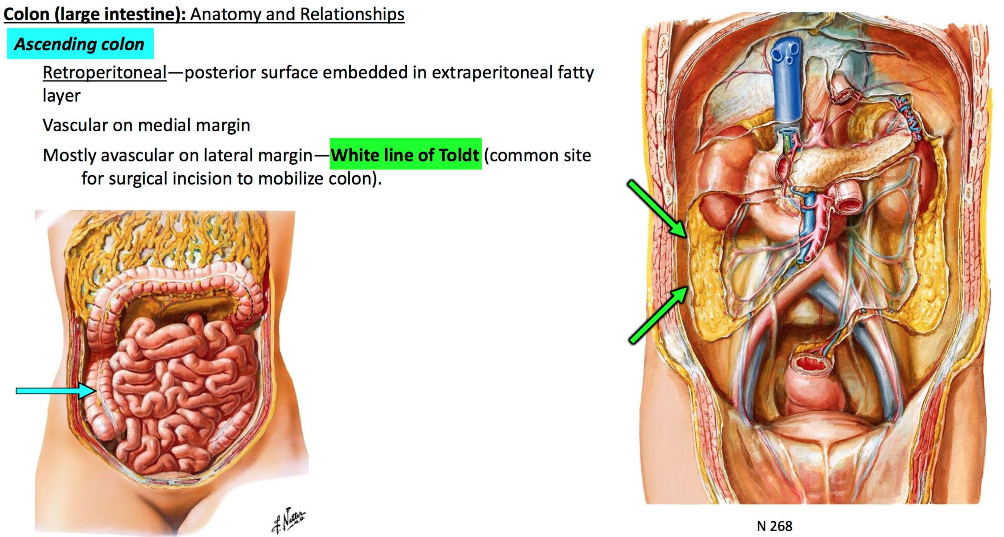 GSAnatomy G31 Midgut + Hindgut (Anatomy Unit 4) Flashcards | Memorang