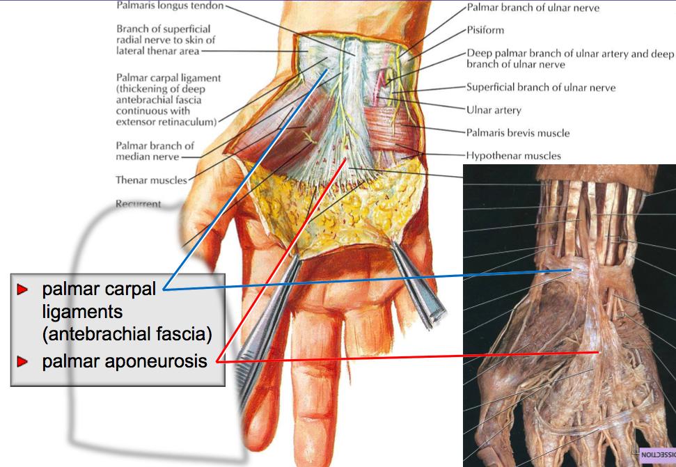 Anatomy of the Hand (L22) Flashcards | Memorang