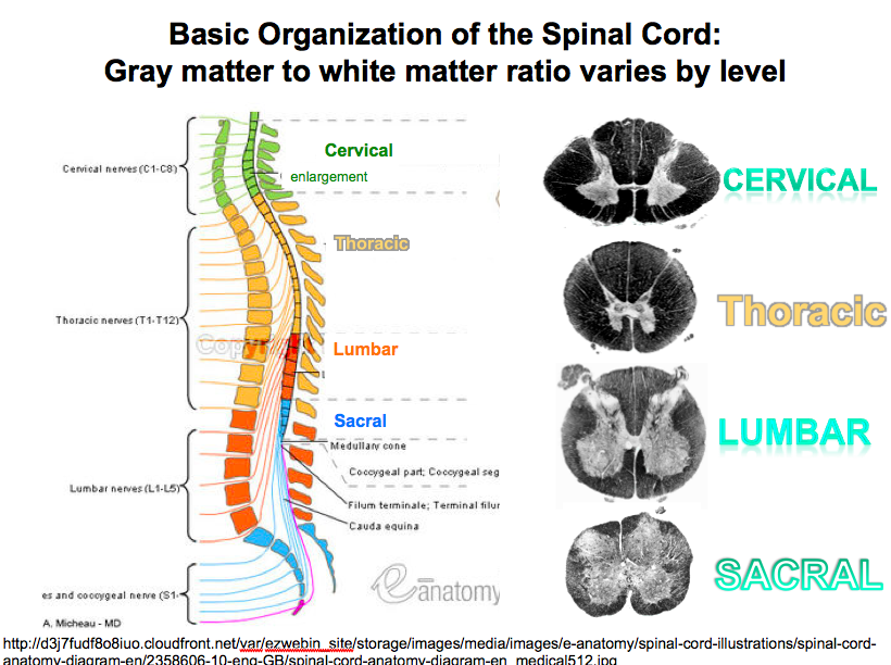 4-4, Spinal Cord - Organization & Tracts (Lerch) (Neuro) Flashcards ...