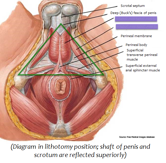 Lab 3 Male Reproduction (Gross Anatomy Unit 8) Flashcards   Memorang