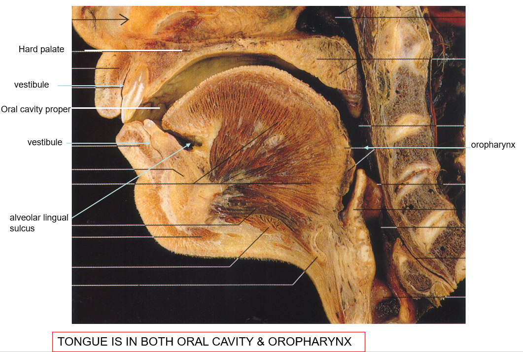 Head and Neck Anatomy: Oral cavity (complete) Flashcards | Memorang