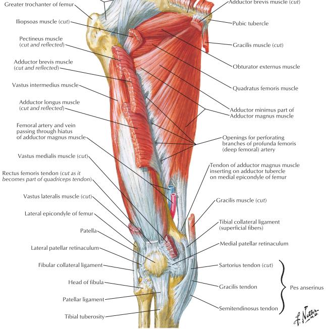 Adductorflexor Thigh Popliteal Fossa Posterior Thigh Flashcards