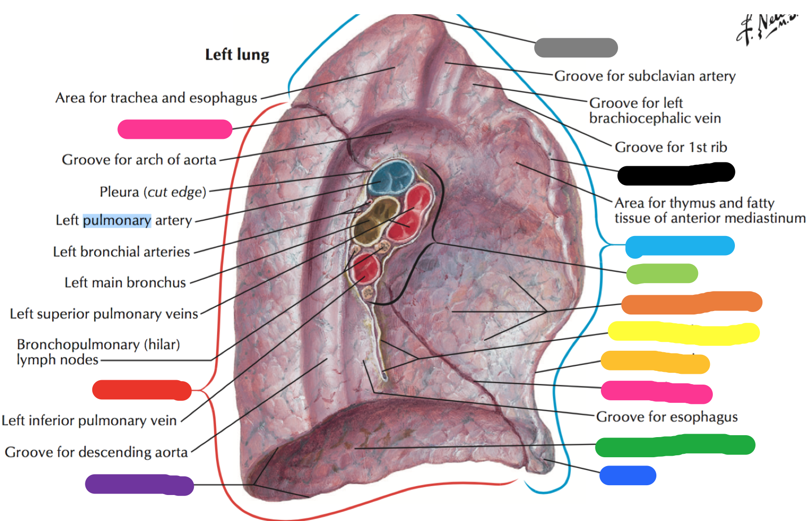 PUL: Wk 1 Anatomy Gross Lung 1 (gross lung anatomy 1) Flashcards ...
