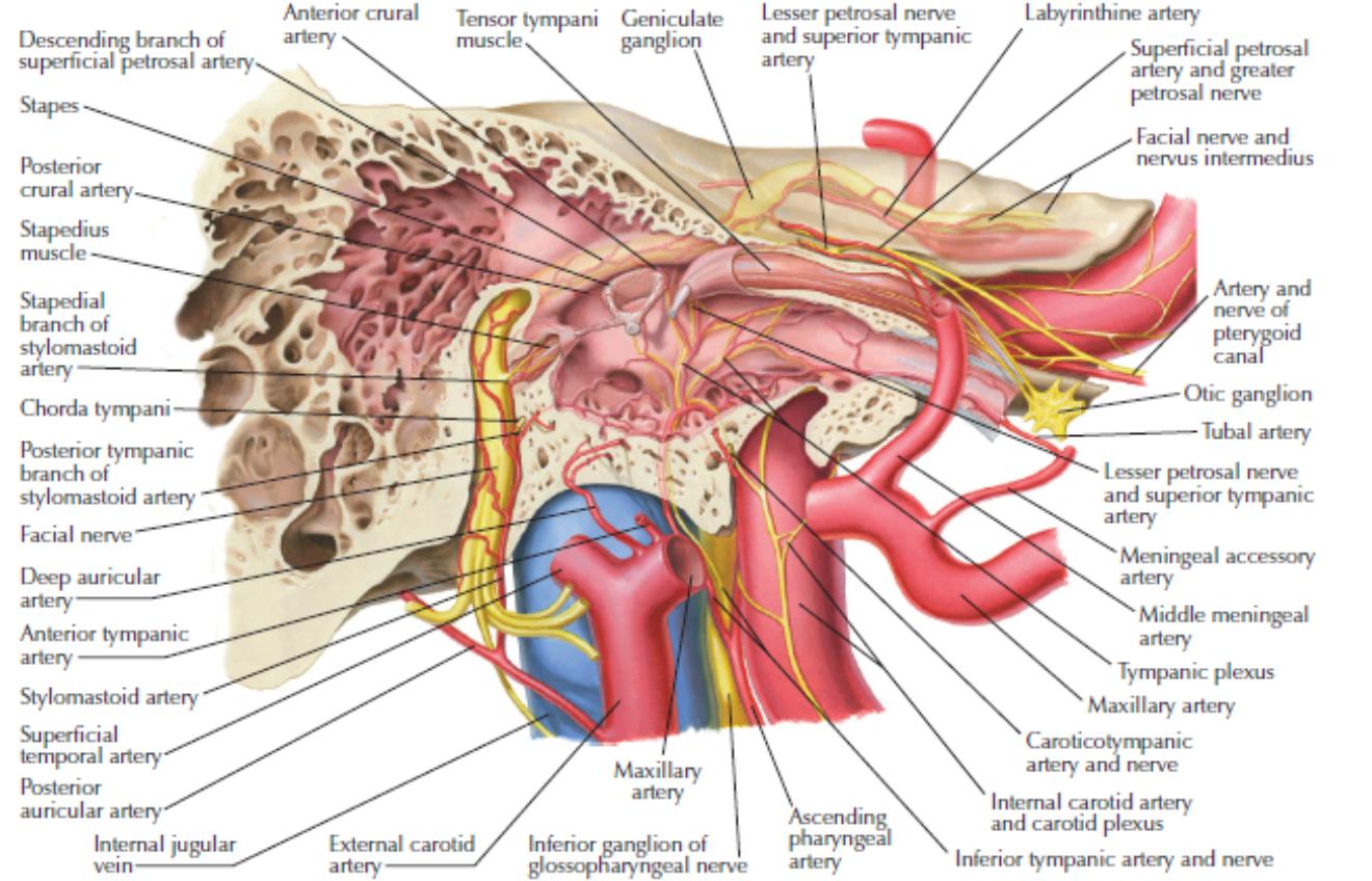 Ear lab (Gross Anatomy Practical) Flashcards | Memorang
