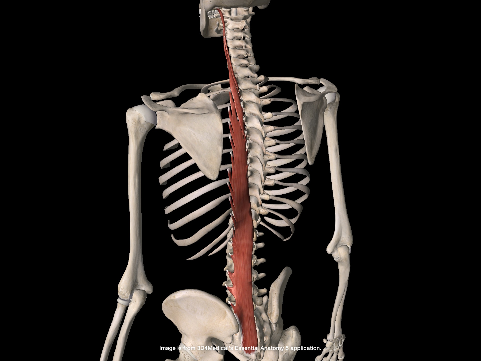 ATL Session 1: Muscles of the Back, with pictures (Anatomy