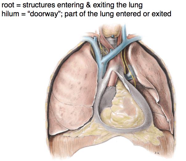 1 4 Cardiopulm Overview Anatomy Dephilip Flashcards Memorang