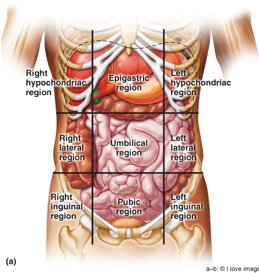 Anatomy Chapter 1 (Introduction) Flashcards | Memorang