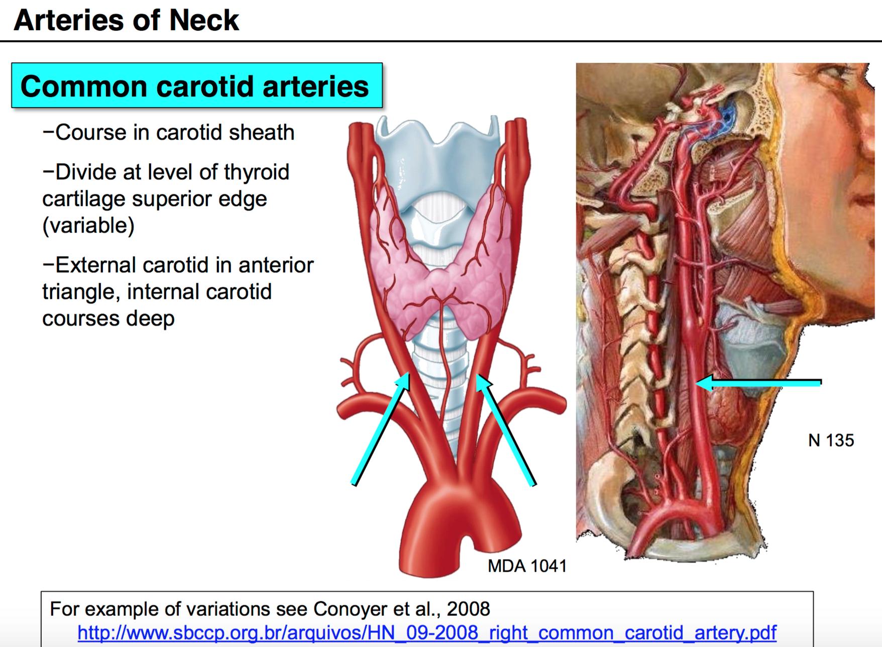 Dorable External Carotid Artery Anatomy Component - Human Anatomy ...
