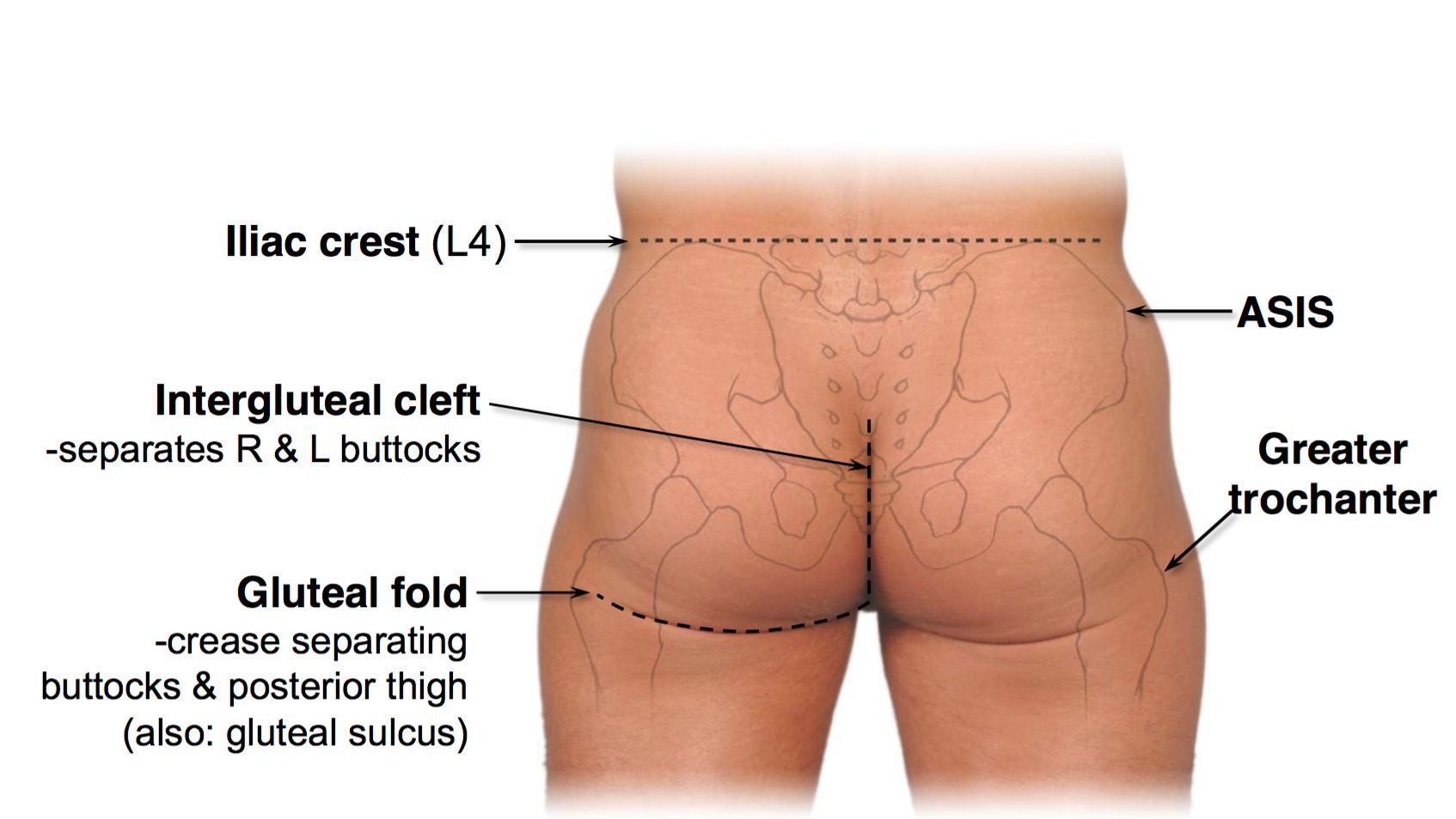 Luxury Buttock Anatomy Surface Gift - Human Anatomy Images ...