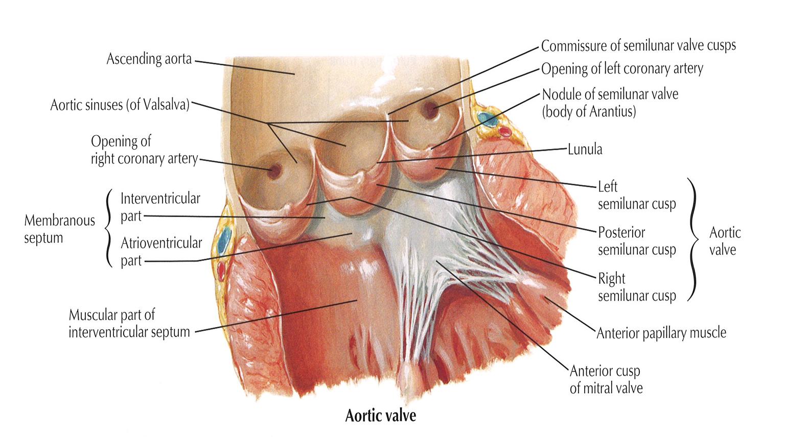 015B - Middle Mediastinum (Anatomy) Flashcards   Memorang
