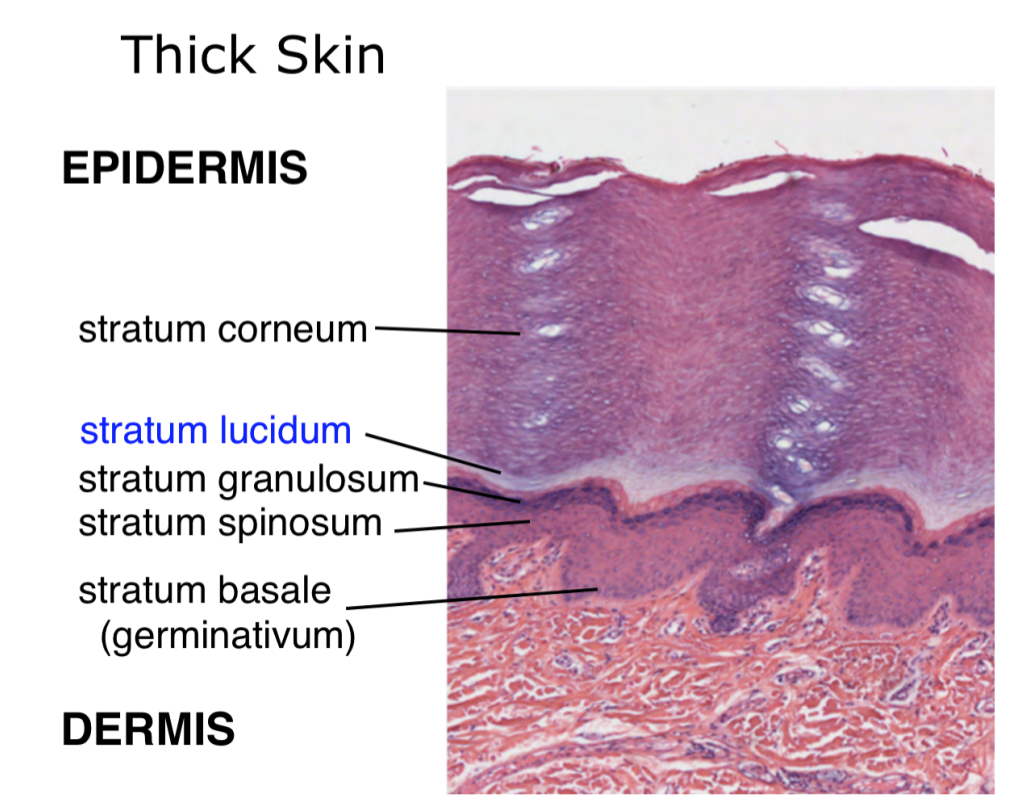 Week 16 - Skin (Histology) (Phase 1) Flashcards | Memorang