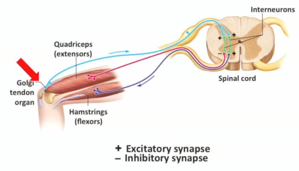 Spinal Reflexes (Physiology) Flashcards | Memorang