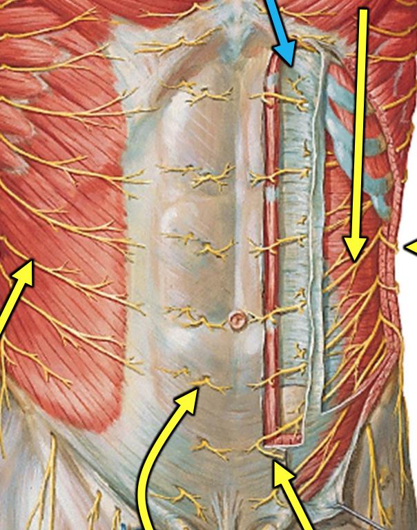 Anterolateral abdominal wall boundaries in dating