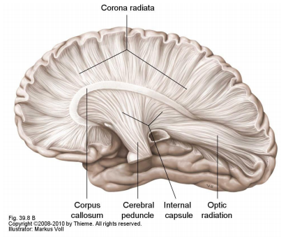 Subcortical Anatomy-Basal Ganglia, Thalamus and InternalCap (CNS ...