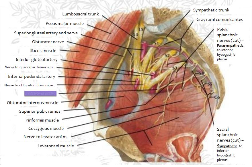 Obturator Nerve In Pelvis