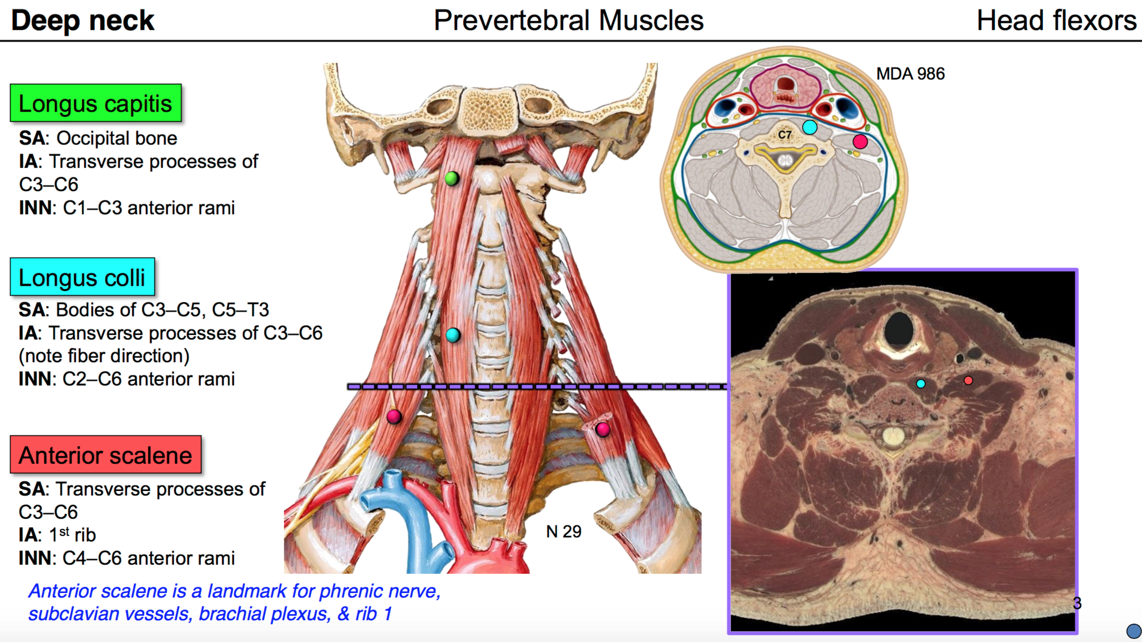 09. Anatomy G54 Neck 2 (Terms from Anatomy G54 Neck II LordFred ...