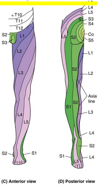 Superficial and Osseous Lower Limb (Y1S1 - Anatomy - Block 3