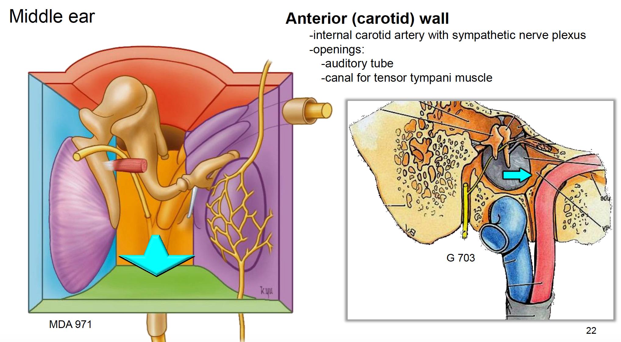 Anatomy G67 Ears (Anatomy Unit 8) Flashcards | Memorang