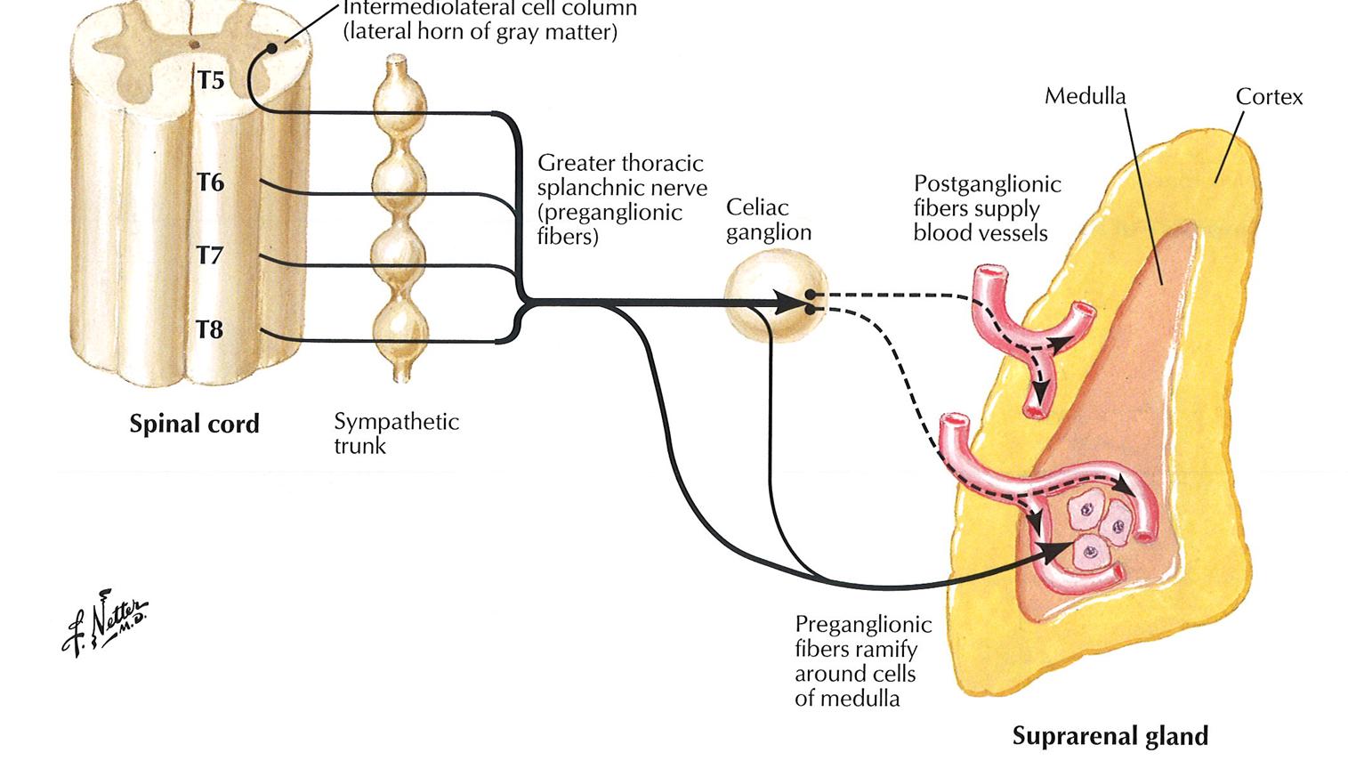 019b Kidneys Ureters Adrenal Glands Anatomy Flashcards Memorang