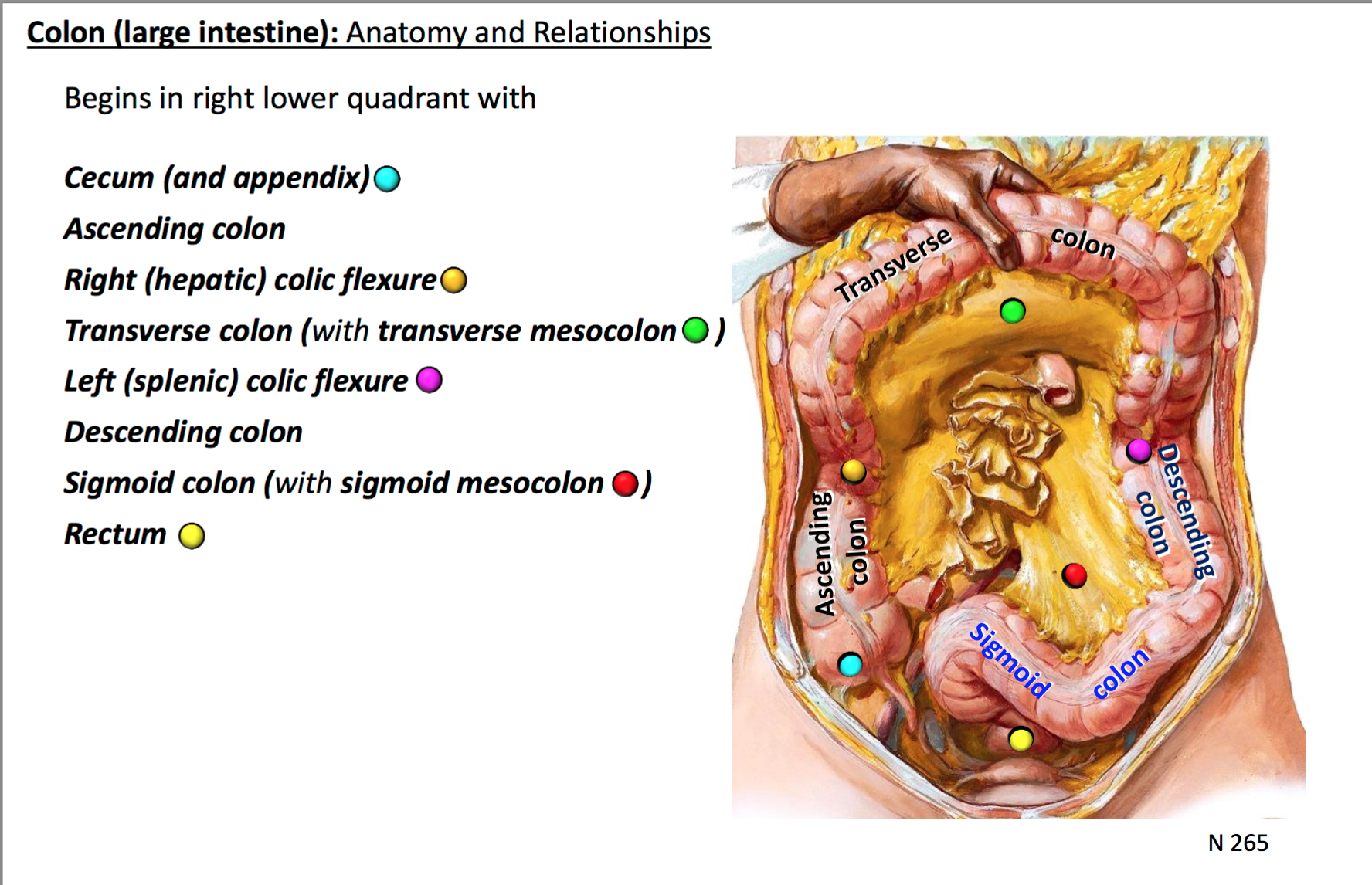 18. Anatomy G31 Midgut + Hindgut (Terms from GSAnatomy G31 Midgut + ...