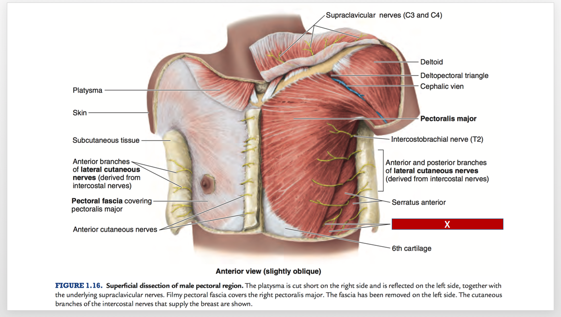 M1 Anatomy 1 Thorax Muscles Figures Review C (Anatomy) Flashcards ...