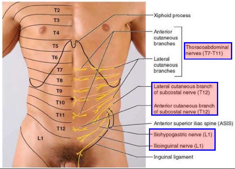 Cartilage Diagram Of Abdomen - Block And Schematic Diagrams •