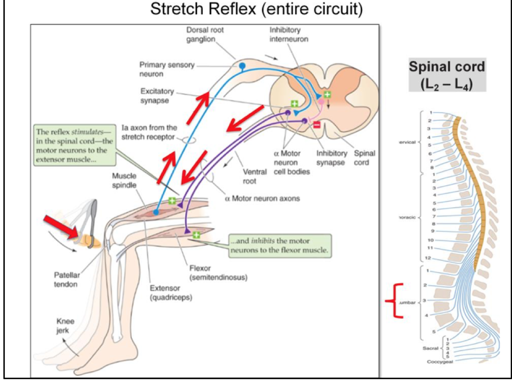 Week 12 - Spinal Reflexes (Physiology) (Phase 1) Flashcards | Memorang