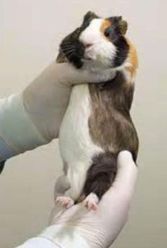 SP17 Avian & Exotics Medicine (Cvm, rodents, lagomorphs, marsupials
