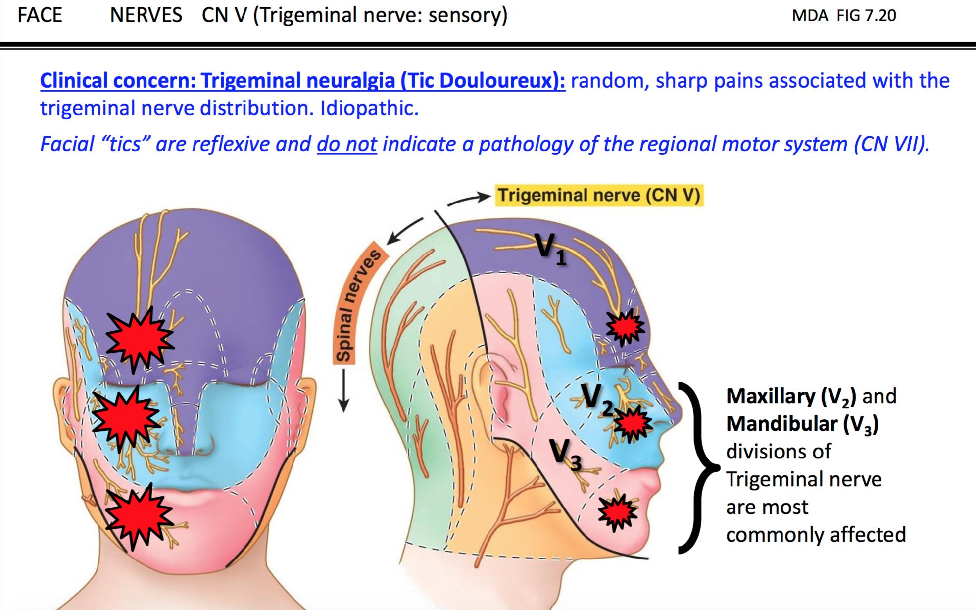 Amazing Anatomy Of Trigeminal Nerve Images Anatomy And Physiology