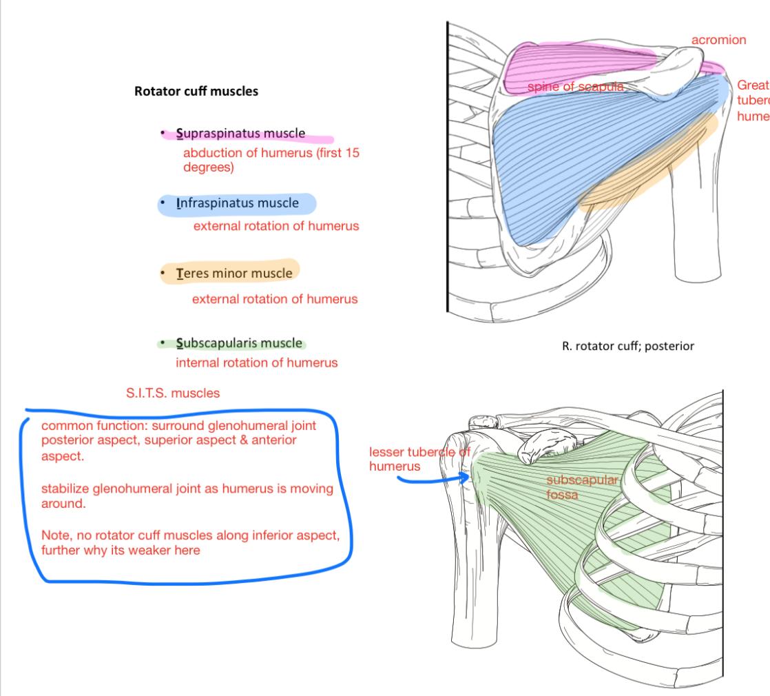 Week 15 - Glenohumeral joint & Elbow (Anatomy) (Phase 1) Flashcards ...