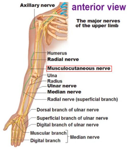 MSK Gross Anatomy (Key Terms) (MSK Gross Anatomy (Key Terms ...